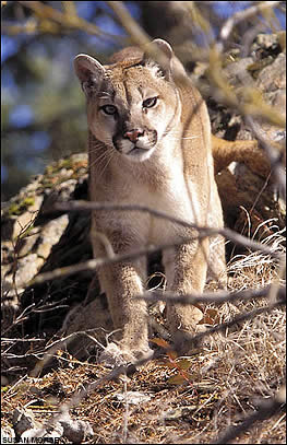 http://assets.espn.go.com/winnercomm/outdoors/conservation/i/P1vn_c_fea_cougar_tracking1.jpg